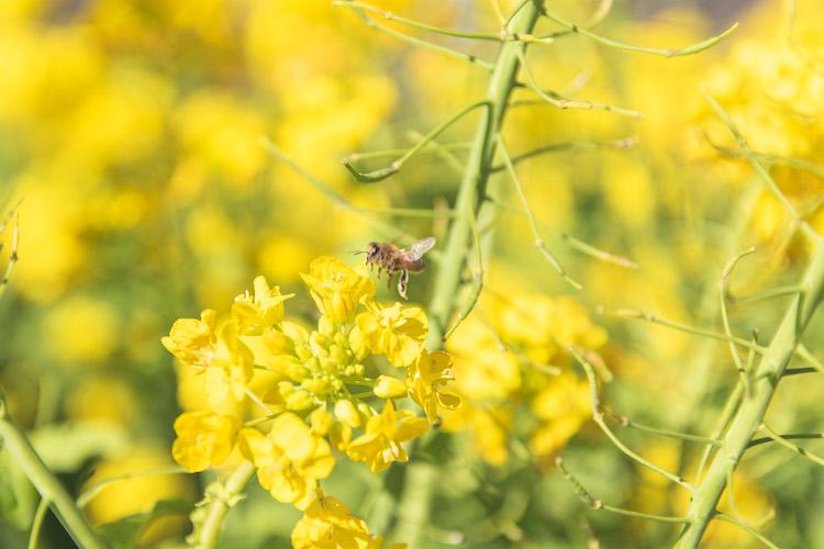 菜の花と蜂の写真